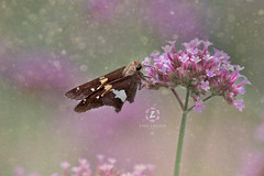I would always rather be happy than dignified (Zara Calista) Tags: nature butterfly macro bokeh light nikon nikkor