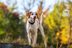 Picture of the Day (Keshet Kennels & Rescue) Tags: adoption dog dogs canine ottawa ontario canada keshet large breed animal animals kennel rescue pet pets field nature autumn fall photography walker walking treeing hound hilltop sunny sunshine