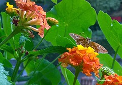 WP_20190926_16_18_59_Pro (orsapolaris54) Tags: flower flowerphotography flowercolors fiore butterfly farfalla lantana closeup closeupphotography colorful insectphotography insekten photography pianta naturephotography nature naturelovers macrophotography mobilephotography