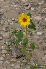 Sonnenblume am Rheinstrand (wb.fotografie) Tags: deutschland nordrheinwestfalen rheinkreisneuss niederrhein dormagen rhein ufer rheinufer