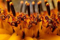 Inside a sunflower (libra1054) Tags: sonnenblumen sunflowers girasoli tournesols girasole girasoles girassóis zonnebloemen girasols macro inside dentro dins àlintérieur binnen