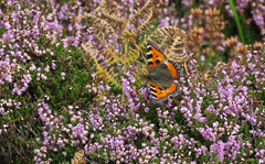 Pembrokeshire Coast Path - Day 1 (end) (Elisa1880) Tags: kleine vos aglais urticae small tortoiseshell heath heather butterfly vlinder insect