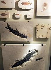 Fossil Fish (Will S.) Tags: fossil fishfossil fish rock mypics ottawa ontario canada canadianmuseumofnature victoriamemorialmuseumbuilding victoriamemorialmuseum museum science nature thecastle castle beauxarts