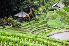 Rizières de Bali (pguiraud) Tags: sergeguiraud bali indonésie rizières gong jatiluwih