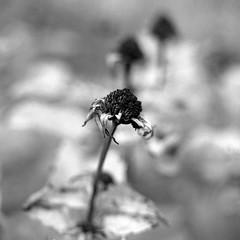 garden tristesse 1 (salparadise666) Tags: rolleiflex sl 66 planar 80mm fomapan 100 boxspedd caffenol cl 20min nils volkmer medium format film analogue camera square 6x6 black white monochrome bokeh floral dof flower autumn