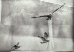 Rise above (Katarina Holmstrom) Tags: måsar wetplate