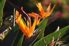 bird of paradise (heartinhawaii) Tags: birdofparadise flower tropicalflower hawaii kauai nature nikond3300