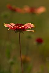 Blanketflower (pstenzel71) Tags: natur pflanzen blumen samyang135mm20 gaillardia blanketflower gaillardiapulchella kokardenblume flower bokeh darktable