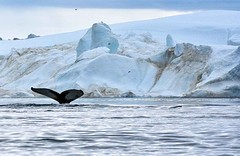 A Humpback in Ilulissat Icefjord (ExpeditionTrips) Tags: kim one ocean expeditions arctic greenland canada cruises cruise baffin island ilulissat icefjord sunset davis strait icebergs ice bergy bits disko kayaking frobisher bay rcgs resolute humpback whales russell glacier inuit people cape mercy polar bear bears fox wildlife wildlifephotography landscapes landscapephotography active cruising zodiac water whale watching hike hiking blue irish