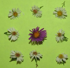 flower play 1: center shadow (Cheryl Dunlop Molin) Tags: knolling asters flowers wildflowers newenglandaster frostaster macromondays