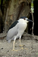 Black-crowned Night Heron - Nycticorax nycticorax (HGHjim) Tags: blackcrowned night heron nycticorax blackcrownednightheron nycticoraxnycticorax blackcapped blackcappednightheron