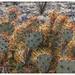 Opuntia spinosibacca