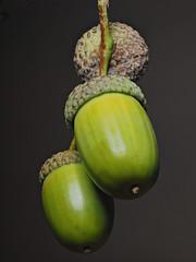 Acorns (Nick_Fisher) Tags: nickfisher macro zerene stacked stack rail olympus seed nut fruit autumn fertility propagation omd em10 mark ii olympusomdem10markii