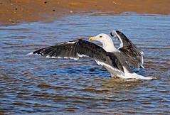 Bath Time (Nigel B2010) Tags: black backed gull bird wildlife nature coast coastal sea norfolk autumn september