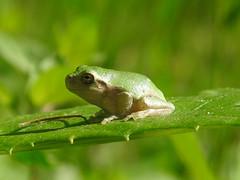 Not Talking - juvenile gray treefrog (annette.allor) Tags: copesgraytreefrog graytreefrog frog