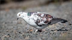 (c)WMH_2019_09_26 Leucistic Rock Pigeon (WesleyHowie) Tags: belchersmarsh birds canada halifax leucisticrockpigeon location municipalpark novascotia pigeon rockpigeon wildlife