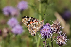 Photo of painted lady, Vanessa cardui