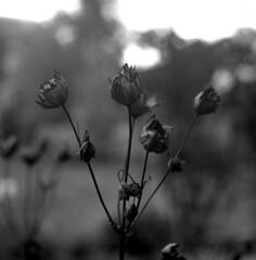 garden tristesse 3 (salparadise666) Tags: rolleiflex sl66 planar 80mm fomapan 100 boxspeed caffenol cl 20min nils volkmer analogue film square 6x6 flower autumn