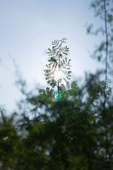 Light through leaf (Gene.Huang) Tags: huntingtongardens sonya7 sonyfe28mmf2