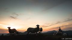 Coucher de soleil avec les moutons (Quentin Douchet) Tags: auvergnerhônealpes faune france mouton nature animal coucherdesoleil fauna landscape paysage sheep sunset