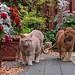 Three fierce wildcats in the backyard!