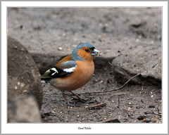 Chaffinch, Loch of the Lowes, Dunkeld (flatfoot471) Tags: 150600sigma 2018 april bird chaffinch dunkeld lochofthelowes nature normal perthkinross perthshire scotland unitedkingdom