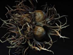 Hazel (Nick_Fisher) Tags: nickfisher macro zerene stacked stack rail olympus seed nut fruit autumn fertility propagation omd em10 mark ii olympusomdem10markii