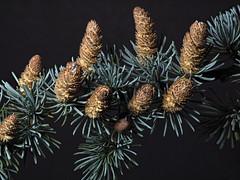 Spruce (Nick_Fisher) Tags: nickfisher macro zerene stacked stack rail olympus seed nut fruit autumn fertility propagation omd em10 mark ii olympusomdem10markii