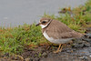 Ringed Plover (Artisanart) Tags: ringed plover bird nature wildlife cornwall west country davidstow