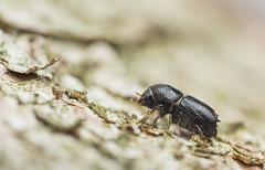Ips typographus (Linnaeus, 1758) (Benjamin Fabian) Tags: ips typographus bark beetle coleoptera käfer borken borkenkäfer schädlich pest schädling insect insecta hexapod hexapoda arthropod arthropoda sony sel90 a6000 raynox macro close up