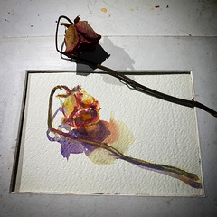 Day 1510. The #rose #painting for today. #watercolour #watercolourakolamble #sketching #stilllife #flower #art #fabrianoartistico #hotpress #paper #dailyproject (akolamble) Tags: rose painting watercolour watercolourakolamble sketching stilllife flower art fabrianoartistico hotpress paper dailyproject