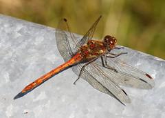 Dragonfly (Treflyn) Tags: darter dragonfly wild wildlife rest wheelbarrow back garden earley reading berkshire uk