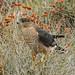 Mature Cooper Hawk Hunting in Ephedra and Buckwheat