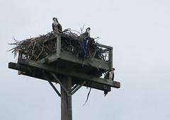 Bay and Bandit 2019 Brood (~gio~) Tags: osprey islandbeachstatepark bayandbandit bay bandit migration flight successstory nest nestlings