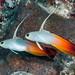 Fire Dartfish, pair - Nemateleotris magnifica
