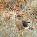 Cooper Hawk Hunting in Ephedra and Buckwheat