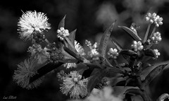 Wattle it be.....Changing from Gold to Mono (Lani Elliott) Tags: nature naturephotography wattle acacia bright light monochrome blackandwhite flower flowers tasmanianflora macro upclose close closeup bokeh