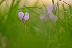 Friday's Flower Power (cнαт-ɴoιr^^) Tags: 1330719 outside flora nature flower fiori fleur blume flor fiore bloem kwiat цветок blomst virág květina цвете blomma λουλούδι cvijet pink rosa herbstalpenveilchen purpur cyclamenhederifolium vintagelens 85mm 15