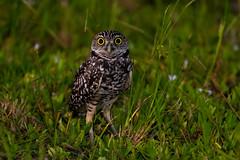 Burrowing Owl (BEHP Photography) Tags: bird birds nature wildlife photography florida photo burrowing owl