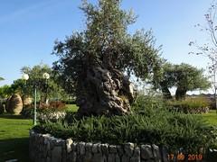 uralte Olivenbäume in Kroatien (naturgucker.de) Tags: ngid1921629698 oleaeuropaea olive
