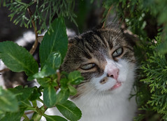 The vampire diaries...Spyder's fangs (Picture-Perfect Cats) Tags: spyder tabby cat portrait fangs teeth cedars trees summer outdoors dreamy eyes