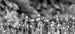 Clouds and wildflowers inverted (FotoGrazio) Tags: inversednegative strange dream contrast avantgarde waynesgrazio alternateuniverse nature driedflowers abstract highcontrast flowers photographicart fotograzio photoeffect clouds reversed motion phototoart negative waynestevengrazio monochrome waynegrazio dreamy scenic silhouette inverse sky creative blackandwhite photomanipulation surreal
