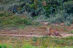 Renard roux (vulpes vulpes) (pierre.pruvot2) Tags: hautsdefrance pasdecalais wissant chemindufartz panasoniclumixg9 mammifère mammals renard fox