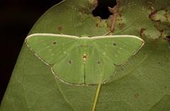 Geometrid Moth (Geometrinae, Geometridae) (John Horstman (itchydogimages, SINOBUG)) Tags: insect macro china yunnan itchydogimages sinobug entomology moth lepidoptera canon green geometrinae geometridae fbipm