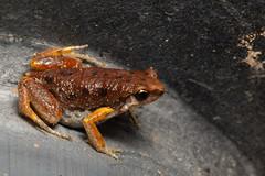 Unidentified frog sp. (Jono Dashper Wildlife) Tags: khaoyainationalpark thailand khao yai national park unidentified frog sp herp wild wildlife animal nature canon 5d macro herping jonodashper jonathondashper