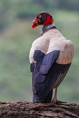 King Vulture (Mario Arana G) Tags: 7d ave bird birding bocatapada cr canon costarica florayfauna kingvulture marioarana nature naturephotography photography sancarlos wildlife wildlifecostarica