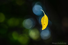 Automne - Fall (Monique Coulombe) Tags: quebecwildlife québecnaturesauvage québec quebec nature nationalgeographic naturesauvage naturephotography ngc naturequébec naturebokeh moniquecoulombe macro bokeh lumière light leaves fantasticnature feuillage feuille jaune yellow automne fall 2019 forêt forest bokehphotography