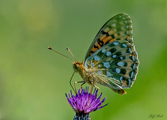 JWL7518  Dark Green Fritillary.. (Jeff Lack Wildlife&Nature) Tags: darkgreenfritillary fritillary fritilliaries butterflies butterfly insects insect lepidoptera wildlife woodlands wildlifephotography jefflackphotography macro grasslands moorland moors heathland heathlands hedgerows heaths verges nectaring ferns glades copse countryside nature naturephotography nikon ngc npc