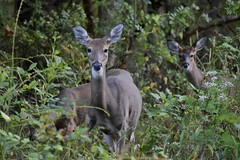 Doe and Fawns (Myusername432) Tags: deer whitetailed wildlife ohio nature animals doe fawn