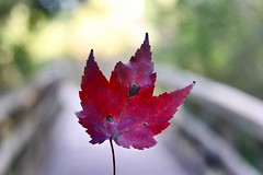 Canadian Autumn (Haytham M.) Tags: wood woods forest september fall autumn leaf maple canada